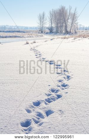 Landscape o f tracks in fresh snow with trees and the Bow River in the distance.