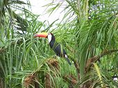 toucan near other bird nests in palm tree poster