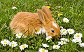Brown little rabbit with daisies on green meadow poster
