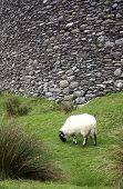 single sheep in front of ancient fort in ireland poster