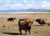 Highland cattle grazing near Scarista Beach, Isle of Harris poster