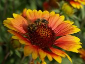 close up of yellow-red flower and bees poster