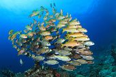 Fish school on coral reef underwater (Yellowfin Goatfish and snappers) poster