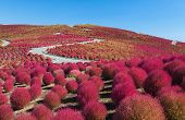 Beautiful kochias hill in autumn season at Hitachi seaside park Ibaraki prefecture Japan poster
