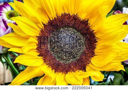 Large sunflower head view from above showing closeup of yellow petals and big seed head. Sunflowers are the symbol for faith loyality and adoration. They can grow up to 3m or 10 feet tall. Sunflowers are native to the Americas, the American indians used t