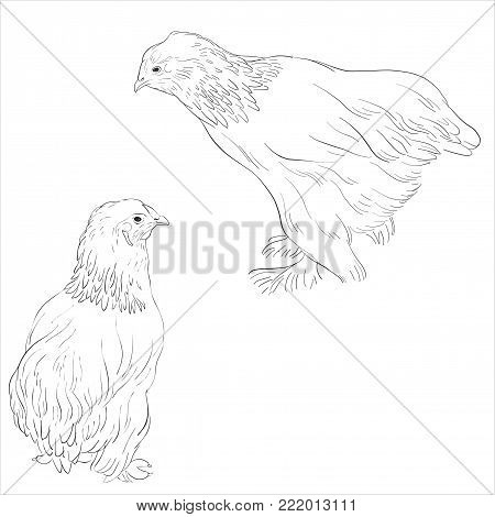 vector sketch of chickens, hen isolated at white background