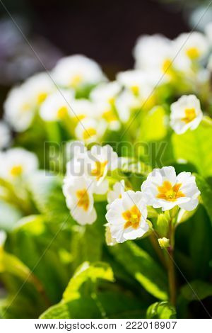 White and yellow primrose flowers at sunny day in garden.