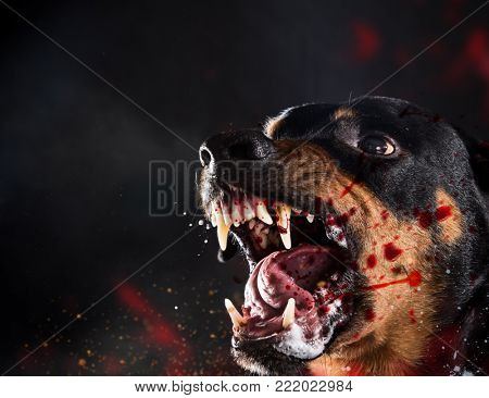 Ferocious Rottweiler barking mad on black background. Portrait photo.