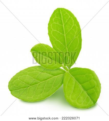 Cowberry leaf rosette isolated on a white.
