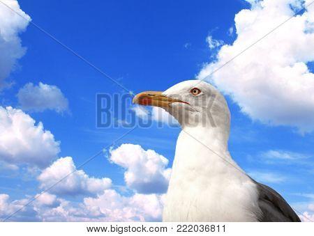 Single wild european herring gull (Larus argentatus) on blue sky background