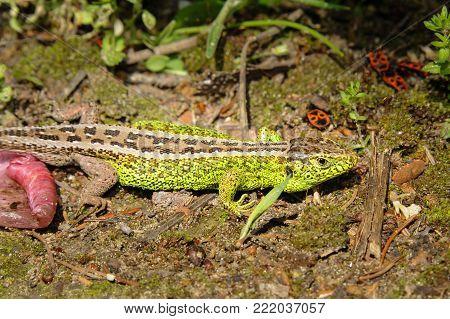A male sand lizard (Lacerta agilis) in a viennese garden