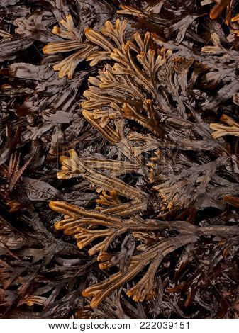 Brown and Yellow Horned Wrack Seaweed Pattern
