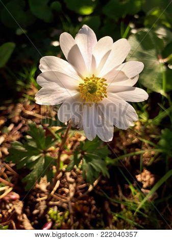 Big, Translucent Anemone Blanda White Splendour Flower