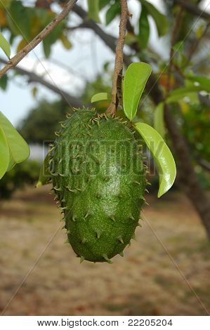 Guyabano Fruit / Soursop