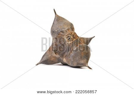 Water caltrop spiky hard seed