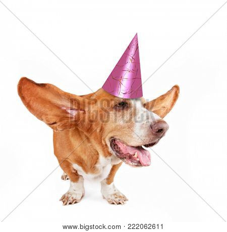 basset hound with her ears flying away and a pink birthday party hat on isolated on a white background
