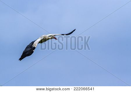 White stork in Kruger national park, South Africa ; Specie Ciconia ciconia family of Ciconiidae