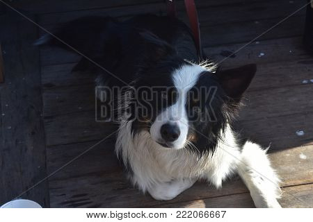 Adorable black and white border collie dog laying down