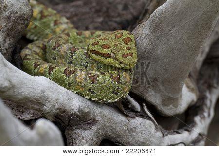Adult Green Eyelash Viper (Bothriechis schlegelii)