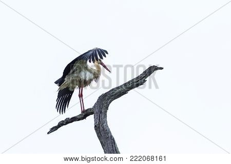 White stork isolated in white background ;Specie Ciconia ciconia family of Ciconiidae