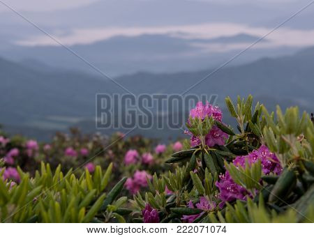Wet Rhododendron Bloom Above Foggy Valley in Blue Ridge mountains