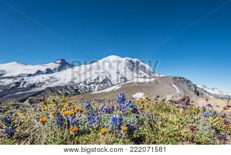 Wildflowers in Dry Field in front of Burroughs Mountain and Mount Rainier