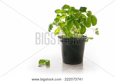 Basil plant in a pot, fresh potted kitchen herb on a light marble plate, isolated with shadow on a white background, copy space, selected focus