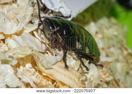 Madagascar hissing cockroaches macro photo close-up huge beetles poster