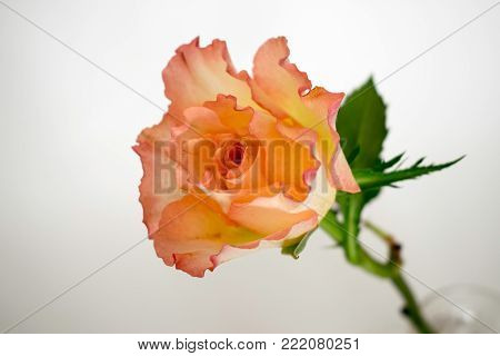 A single rose in tones of pink and orange set against a white background.