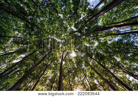 view of tree crowns in beech forest. beautiful nature background with branches and foliage against blue sky in springtime afternoon