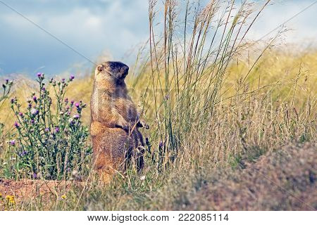 closeup big furry marmot on the meadow on blue sky background