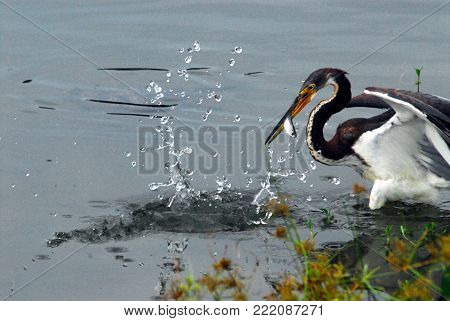 A beautiful Tricolored Heron actively catching a fish in Florida, USA