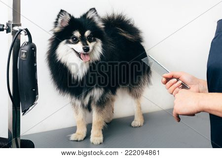 Black Pomeranian spitz in the grooming salon, hand groomer with a comb. Haircut dogs, care for a dog's fur