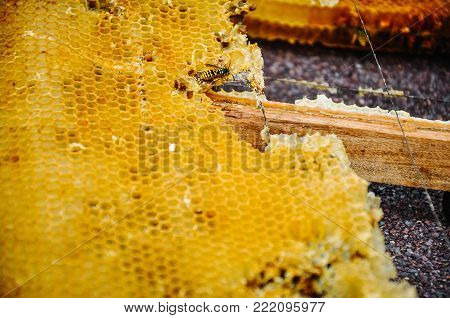 The bee is sitting on a frame with honeys. Sota, working bees with honeycomb honey cells. Texture, background of bee wax and honey in hive. Close up. view of the beekeeping and getting honey.