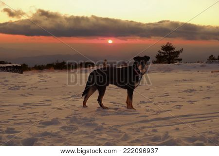 dog on the snow at the sunset in Etna Park, Sicily