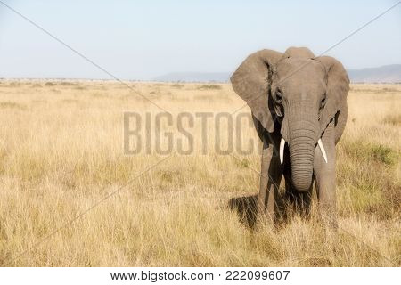 Single adult elephant in the Masai Mara. Front view with space for text.