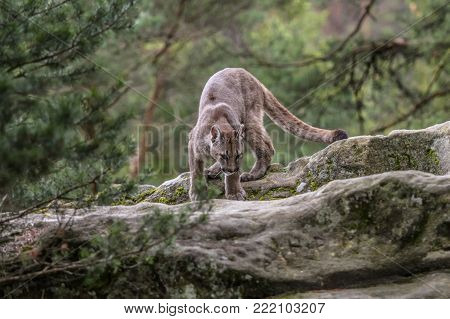 Cougar(Puma concolor)An endangered Florida Panther america nature
