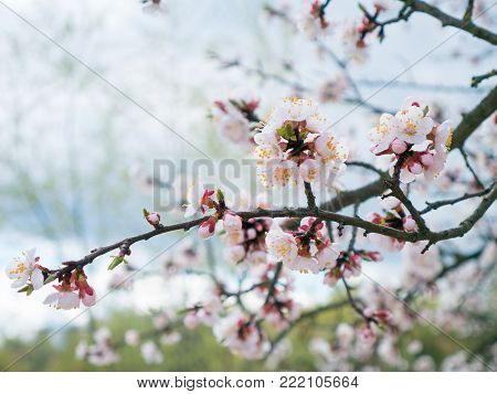 flowering branch close-up. Spring garden of flowering apricots. Spring color. Apricot branch color close-up Buds on the branches of the apricot tree spring