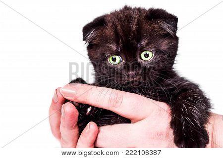 Scottish Fold kitten in female hands isoliert on white background