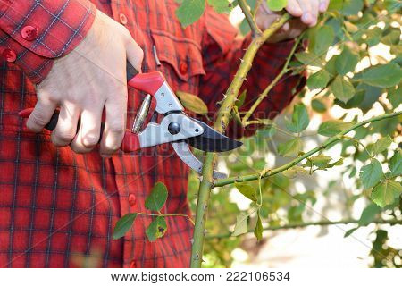 Gardener with garden pruning scissors pruning climbing roses. Pruning and Training Climbing Roses with Garden Pruning Scissors. Pruning climbing roses is a little different from pruning other roses.