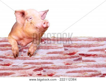 Pig looks out over the layers of lards on the white background. Sign-board for butcher's shop