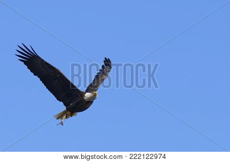 Bald Eagle Flying with Fish in Talons Surrounded by Blue Sky