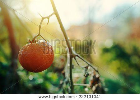 Ripe homegrown tomato in organic vegetable garden against summer morning sunlight