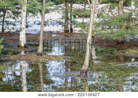 Blue Spring Puddle: Bare Trees Reflect On The Water Surface, A Little Ice On The Edges Of The Puddle
