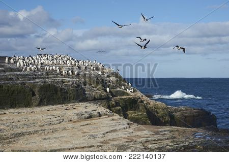 Large group of Imperial Shag (Phalacrocorax atriceps albiventer) on the coast of Bleaker Island on the Falkland Islands