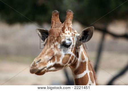 Wondering Giraffe