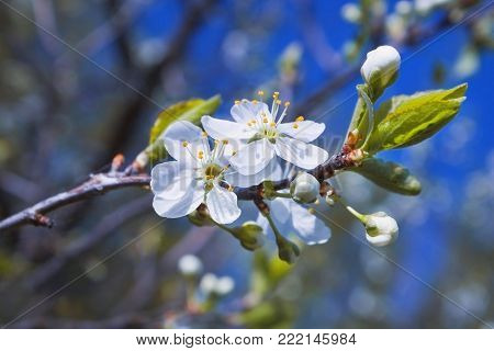 A photo of blooming apple tree on the blue sky. Background for Tu Bishvat greeting card or poster for new year of trees. Jewish holiday, blooming tree. Selective Soft focus