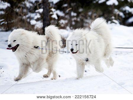 Dog sled run Samoyeds in harness on snow the track. Sports sled dog race.