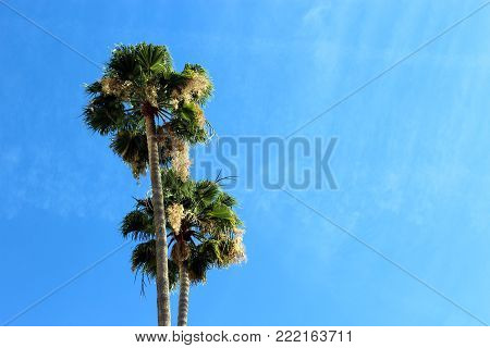 Two palm trees against blue sky with copy space in los angeles, caliofrnia.