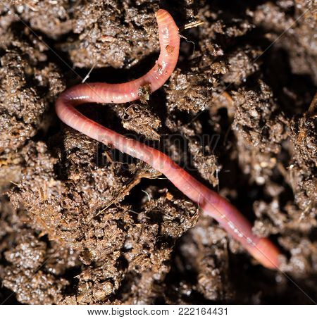 red worms in compost. macro . In the park in nature